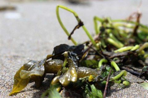 Ecomateriaux : des micro-algues pour remplacer le bitume pétrolier ?
